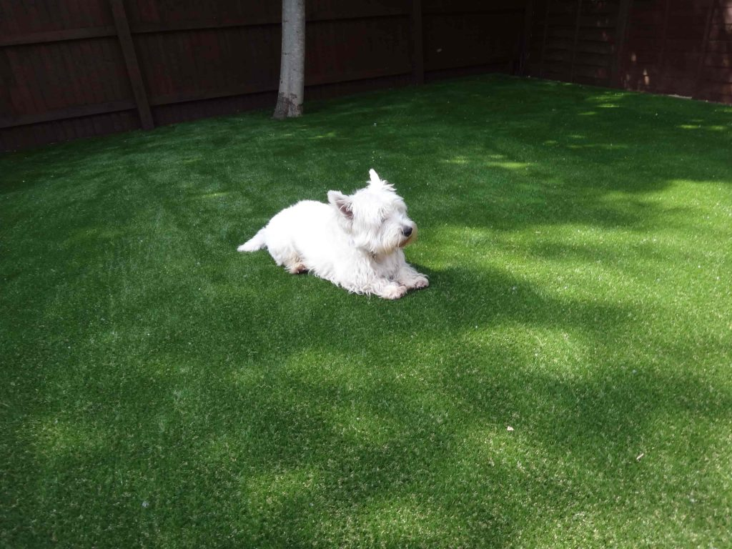 Small dog enjoying new artificial grass installed by Acre Driveways